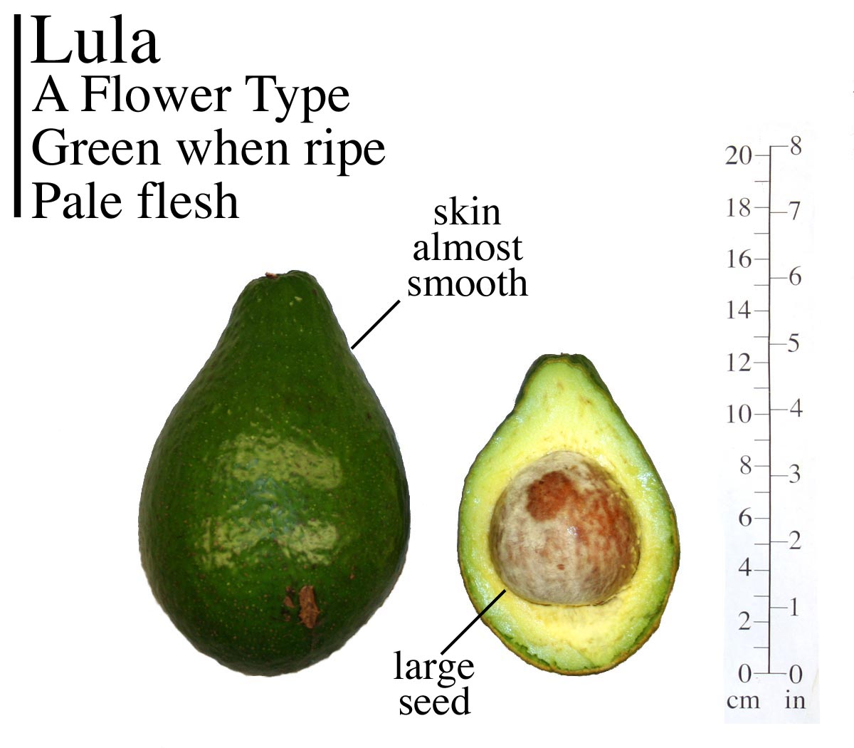 AVOCADO – Common Varities | TFNet – International Tropical Fruits ...