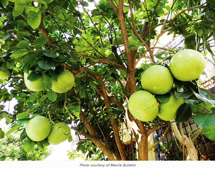 Philippines grow pummelo and jackfruit in your farm tfnet international tropical fruits network - Fruit trees every type weather area ...