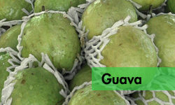 GUAVA – Postharvest and Processed Products   TFNet
