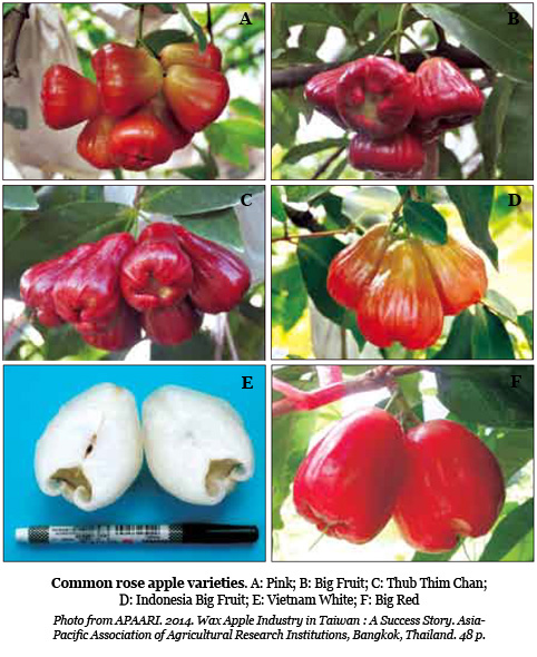 Rose apple: crunchy and refreshing tropical fruit | TFNet
