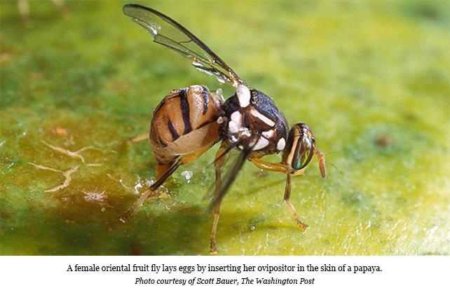 USA: A pesky fly threatens Florida's fruit industry   TFNet