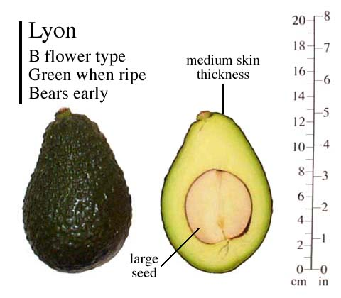 AVOCADO – Common Varities | TFNet – International Tropical Fruits