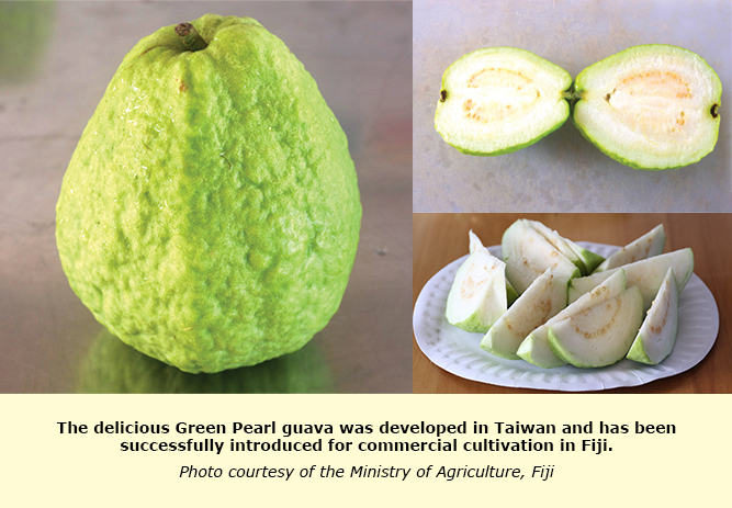 FEATURE: Fiji's new Green Pearl guava is sweet, crisp, and